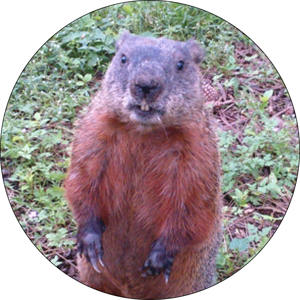 Gordon the groundhog